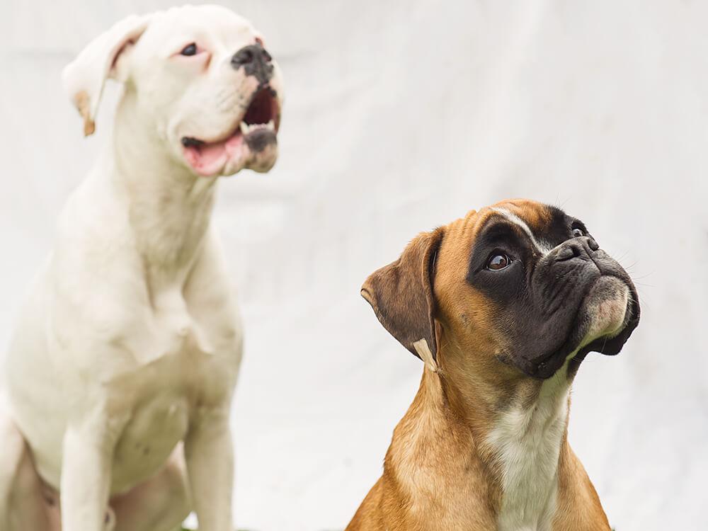 hund, tier, fotografie, wien, dogge, boxer, schwarz, weiß, blond